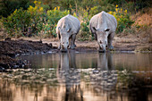 Two rhinos, Ceratotherium simum, drink from a waterhole, looking away, reflections in water.
