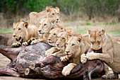 A pride of lions, Panthera leo, lie over a buffalo carcass, Syncerus caffer, looking away, biting muzzle of bloated buffalo, blood on mouth.