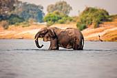 An elephant, Loxodonta africana, stands knee deep in water, wet body, trunk sprays water, looking away.
