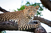 A leopard, Panthera pardus, lies on a tree branch, alert, greenery in the background