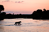 A silhouette of a lioness, Panthera leo, with short tail, walking across shallow river at suset with tree silhouettes in the background