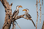 Two southern yellow-billed hornbills, Tockus leucomelas, stand on a branch and face each other, blue sky background