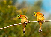 Two little bee-eaters, Merops pusillus, perch on a thin branch, both lean left, puffed up feathers