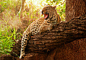 A leopard, Panthera pardus, hugs a fallen over tree branch, snarls and looking away, open mouth, sunlight and greenery in background