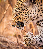 A leopard's head and front paw, Panthera pardus, snarling, stick with thorns in mought, paw holding onto stick, looking away