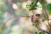 A African paradise flycatcher, Terpsiphone viridis, sits in a nest in a tree, its long tail hangs out of the nest