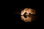 A lioness, Panthera leo, laps water at night, water reflection, ripples, lit up by spot light