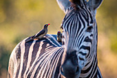 A zebra, Equus quagga, stands with red-billed oxpeckers sitting on its back, Buphagus erythrorhynchus