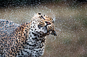 A leopard, Panthera pardus, shakes water off itself, water sprays droplets in the air, wet fur, eyes closed