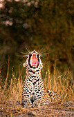 A leopard, Panthera pardus, lies down in sunlight, yawning.