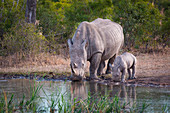 A rhino mother and calf calf, Ceratotherium simum, drink water from a waterhole
