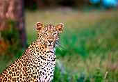 A leopard, Panthera pardus, sits in green grass, alert, ears forward, yellow eyes, white whiskers, dark rosettes on fur