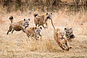 A lioness, Panthera leo, runs away with its tail up, wide eyed and mouth open as four spotted hyena, Crocuta crocuta, chase after it in dry yellow grass