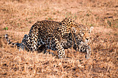 A leopard, Panthera pardus, crouching low, stalks through dry grass, ears back.