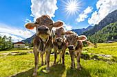 Three cow at pasture. Valmalenco, Valtellina, Lombardy, Italy, Europe.