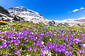 Flowering of purple Crocus nivea at Julier Pass, Parc Ela, Region of Albula, Canton of Graubünden, Switzerland, Europe.