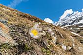 Spring flowering of Pulsatilla Vernalis. Forni valley, Valfurva, SOndrio district, Lombardy, Italy.