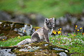 Baby arctic fox on the West Fjords. Hornstrandir, Iceland