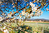 Cherry tree in bloom in Franciacorta, Brescia province, Lombardy district, italy, Europe