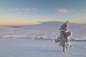 Lonely tree at Pallas - Yll?stunturi national park, Muonio, Lapland, Finland, Europe