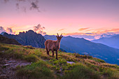Young ibex during sunset in high mountain. Valgerola, Orobie Alps, Valtellina, Lombardy, Italy, Europe