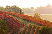 Herbstliche Weinberge bei Sonnenuntergang in Castelvetro di Modena, Emilia Romagna, Italien
