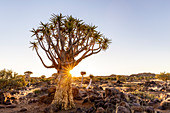 Quiver tree forest at sunset,Keetmanshoop,Namibia,Africa