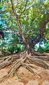 Ein alter Baum in Jardim Jose do Canto in Ponta Delgada auf der Insel von Sao Miguel, Portugal