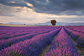 A lonely tree in lavender fields, Valensole plateau, Provence, South France, France,Europe