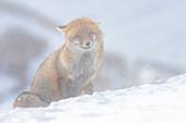Fox an einem schneebedeckten Tag, Valle dell Orco, Nationalpark Gran Paradiso, Piemont, italienische Alpen, Italien
