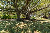Moreton Schacht-Feige in Albert Park. Auckland City, Auckland Region, Nordinsel, Neuseeland