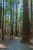 Footpath through The Redwoods, Whakarewarewa Forest. Rotorua, Bay of plenty region, North Island, New Zealand.