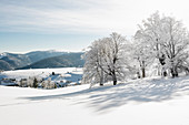 Snow-covered beeches (Fagus) in winter, Schauinsland, near Freiburg im Breisgau, Black Forest, Baden-Wurttemberg, Germany