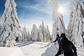 Snow-covered spruce trees (Picea) and cross-country skiers in winter, Feldberg, Todtnauberg, Black Forest, Baden-Wuerttemberg, Germany