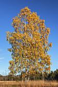Birches in autumn, Großweil, Upper Bavaria, Bavaria, Germany, Europe