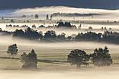 Bäume im Kochelseemoos im Nebel, Großweil, Oberbayern, Bayern, Deutschland
