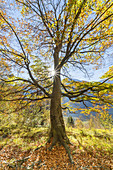 Beech in the autumn forest, Oberau, Werdenfelser Land, Upper Bavaria, Bavaria, Germany