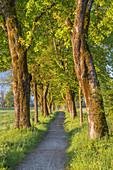 Maple avenue in Seeshaupt, Fünfseenland, Upper Bavaria, Bavaria, Germany