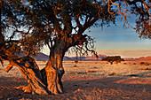 Kameldornakazien im Tirasgebirge am Rande der Wüste Namib, Namibia