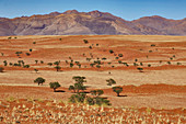 Red dunes and camel thorn acacias in the Namib Rand Nature Reserve, Namib Naukluft Park, Namibia