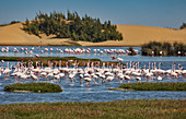 Pink flamingos in the Walvis Bay lagoon south of Swakopmund, Namibia