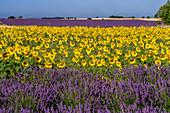Sonnenblumen und Lavendel, Valensole Hochebene, Provence, Frankreich