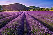 Blossoming lavender, Montagne de Lure, Vaucluse, Alpes-de-Haute-Provence, France