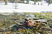 Toads migrate across the snow in Oberallgäu to their spawning grounds on flooded meadows