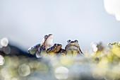 Kröten wandern im Oberallgäu über den Schnee zu ihren Laichplätzen auf überschwemmten Wiesen