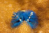 Bunter Spiralroehrenwurm, Spirobranchus giganteus, Tufi, Salomonensee, Papua Neuguinea