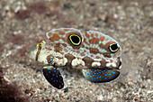 Krabbenaugen-Grundel, Signigobius biocellatus, Tufi, Salomonensee, Papua Neuguinea