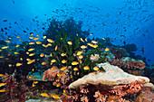 Artenreiches Korallenriff, Tufi, Salomonensee, Papua Neuguinea