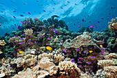 Tuka-Fahnenbarsche am Riff, Pseudanthias tuka, Tufi, Salomonensee, Papua Neuguinea