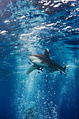 Weissspitzen-Hochseehai, Carcharhinus longimanus, Atlantik, Bahamas